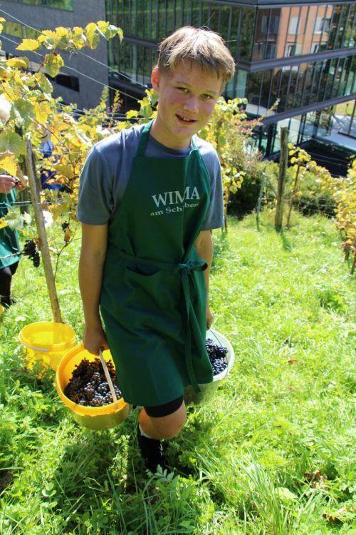 Viele fleißige Hände halfen, die Trauben von den rund 400 Weinstöcken zu ernten. HE